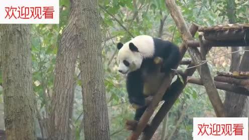 正在吃竹子的大熊猫被什么给吸引了!竹子都不吃爬高高伸脖子看