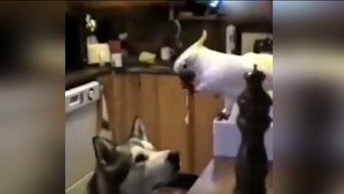 鹦鹉和汪星人在厨房偷面条吃,这是年度最佳搭档
