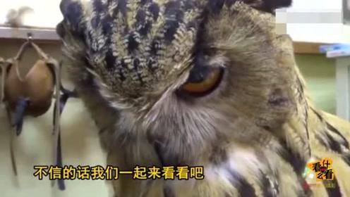 动物成精系列之猫头鹰,被主人抚摸时笑开了花一停下立马变脸