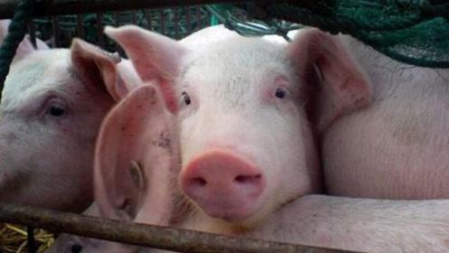 """猪肉将回到曾经的""""十元时代""""?国家领导表示:双旦前一定吃到平价猪肉"""