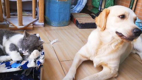 猫薄荷吸过量白菜飘了,吃纸的蛋挞意外捡漏,实力演绎乐极生悲