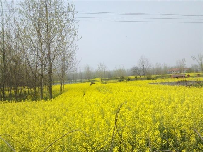 在湖北黄梅县拍的油菜花