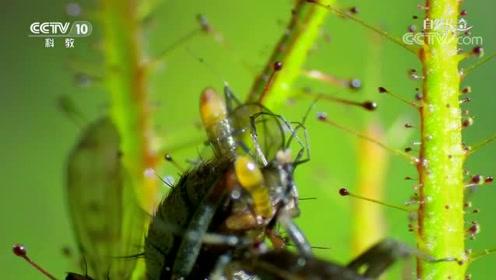 昆虫捕虫网_刺蝽与捕虫树共生,树为刺蝽捕捉昆虫,得到刺蝽 排泄物作为肥料