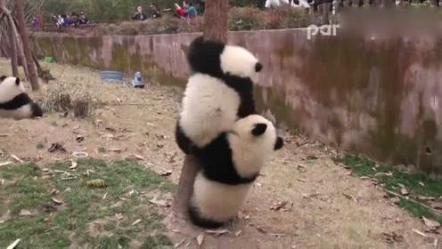 燕郊星河185鸟瞰�_大熊猫-晶运不想让庆小上树一直捣乱,庆小还是锲而不舍的往上爬